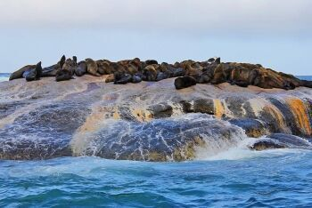 Cape fur seals, Seal Island, Great white shark, Cape Town, Western Cape