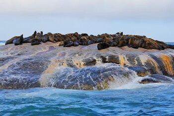 Cape fur seals, Seal Island, Great white shark, Cape Town, Western Cape