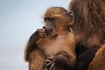 Young baboon, Table Mountain, Cape Town, Western Cape