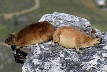 Cape hyrax, Dassie, table Mountain, Cape Town, Western Cape