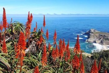 Aloe succotrina, Fynbos aloe, Cape Point, Table Mountain National Park, Cape Town